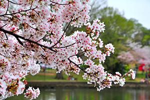 家族におすすめ! 親子で楽しめる埼玉県のお花見スポット5つ